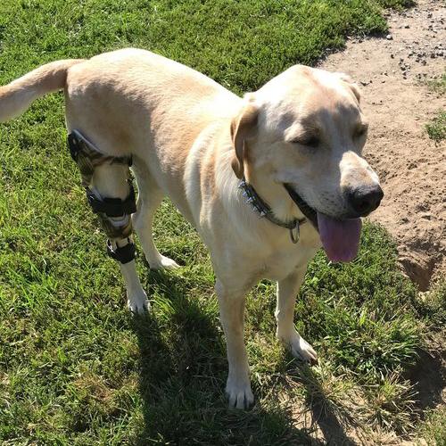 knee brace for labrador retriever